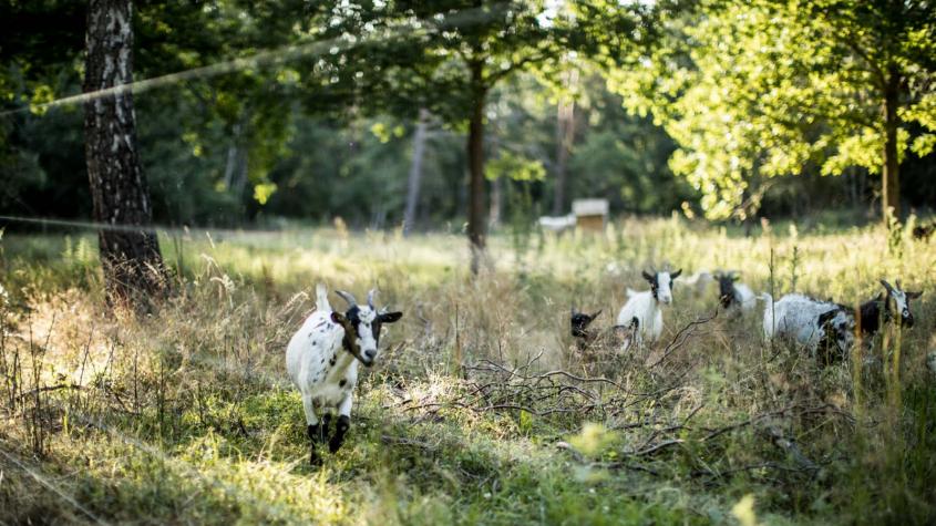 Krajinu bez náletů nejlépe udržují ovce a kozy, říká iniciátor obnovy původních pastvin u Vrančic