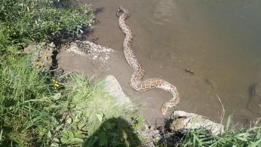 Hasiči na Karvinsku lovili v řece šestimetrovou krajtu