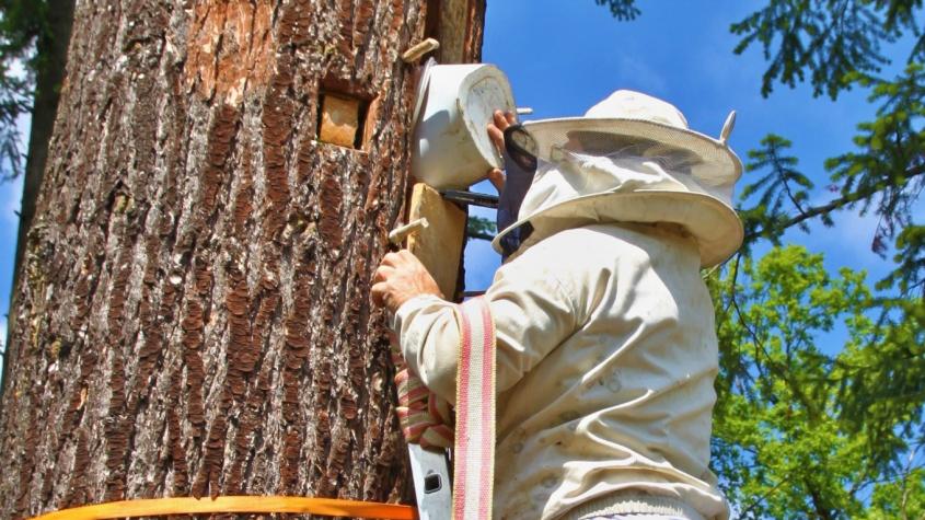 V Brdech ožila první brť, středověký chov včel v dutinách stromů se vrátil do lesů