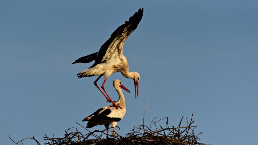 Ornitologové vyzvali veřejnost k pozorování čapích hnízd