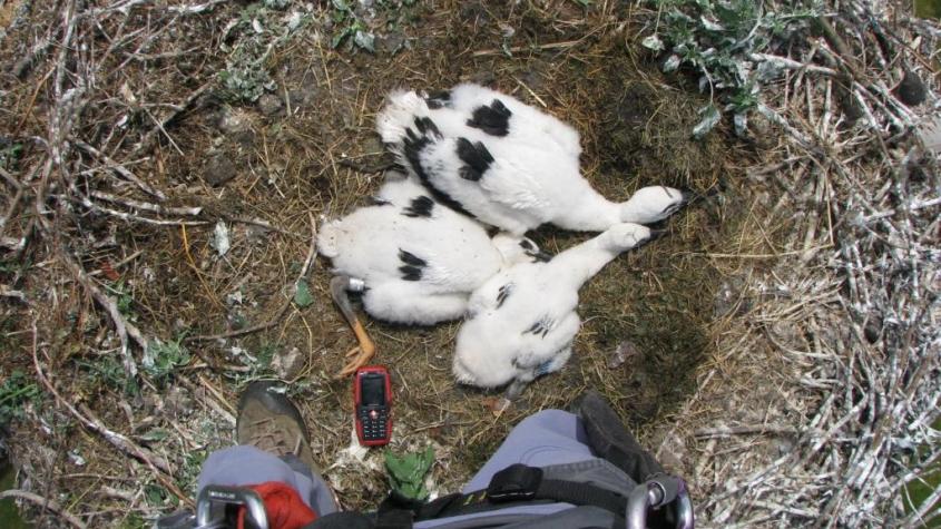 Kaskadérský výstup: Čapí mláďata na milínském komíně dostala svůj kroužek