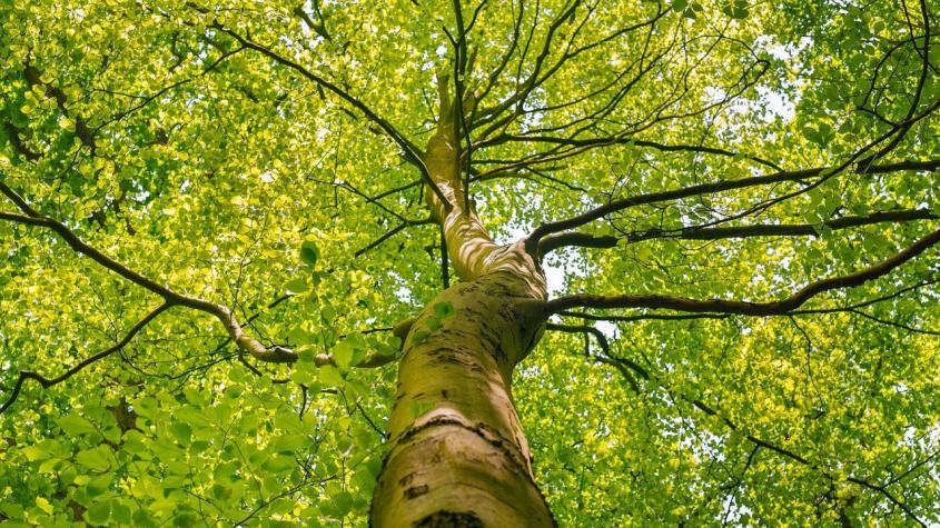Milín hledá své velikány. Mezi stromy