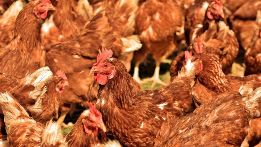 Kvůli ptačí chřipce muselo být letos utraceno přes čtvrt milionu ptáků