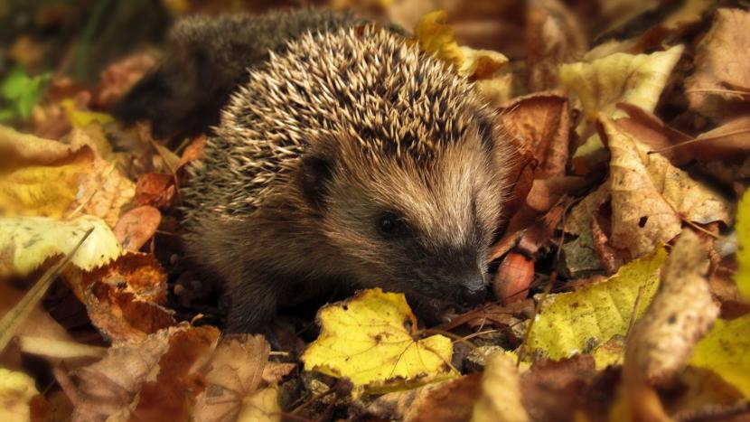 Zdravé malé ježky nesbírejte, pomoc nepotřebují. Do zimy přiberou, upozorňují záchranáři