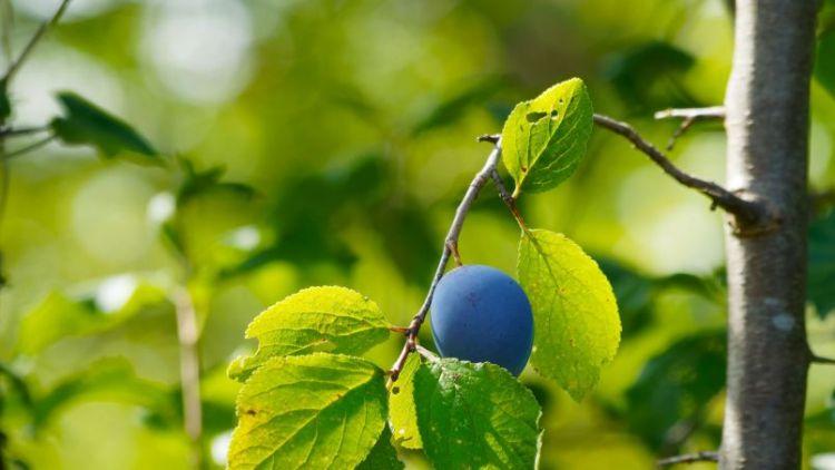 Členové Spolku pro ochranu přírody a dobrého života v Petrovicích vysadili novou ovocnou alej u Kuníčka