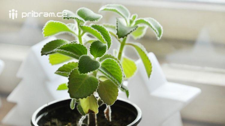 Zázračná rostlina pomáhá nejen při nachlazení