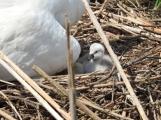 Foto dne: První mládě labutě se vyklubalo na svět