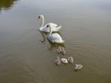 Postrádáte labutí rodinu z Nováku?