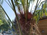 FOTO DNE: Nedávno se zasadily palmy a v nejbližších dnech se chystá první sklizeň kokosových ořechů