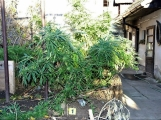 Zahradničili v pronajatém domě, úrodu jim sklidili policisté