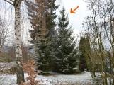 Jeden vánoční strom vyrostl v Lazci, druhý přímo v Příbrami