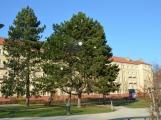 Borovice na náměstí 17. listopadu už je připravena