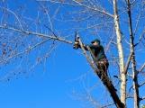 V Příbrami proběhne kácení stromů