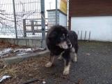 Hledá se majitel tibetské dogy