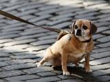 Na veřejné akce smí psi pouze s náhubkem a na vodítku