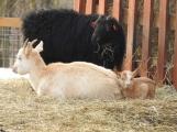 Zoopark u Nováku se rozrostl o dvě malá kůzlátka