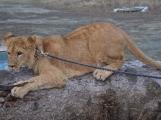 Muž v Novém Kníně, který si pořídil dva lvy, dostal od dobříšského městského úřadu pokutu