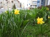 Příjemné jarní teploty proměňují ulice v květinové záhony