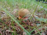 Foto dne: Na houby nemusíte do lesa, i v Příbrami je dobré podhoubí