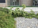 Stupidita v praxi: Vandalové zlomili mladou lípu na náměstí T. G. M.