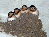 Mláďata rorýsů, jiřiček, vlaštovek a dalších ptáků ve vedrech předčasně vyskakují z hnízd
