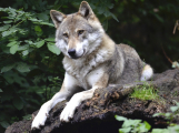 Na Příbramsku se od roku 2014 provádí monitoring vlka obecného