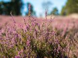 Brdská vřesoviště jsou v plném květu