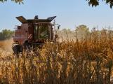 V boji proti škůdcům pomáhají místním zemědělcům dravé vosičky