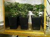 Kriminalisté obvinili dva dealery drog. Jeden se hájil tím, že konopí pěstuje, protože se mu rostlinka líbí