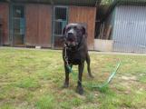 V Bohutíně se našel kříženec labradora