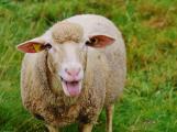 V Příbrami jsou desítky až stovky stavebních pozemků, na kterých se pasou ovce