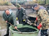 Rybáři vylovili z Dolejší Obory přes dvě tuny ryb. Nechyběly ani štiky