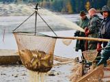 Největší rybník na Sedlčansku vydá svou rybí úrodu. Většina ryb poputuje do Německa
