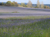 Krajinu v okolí Vltavy ozdobila fialová pole