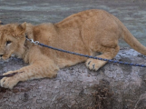 Muž v Novém Kníně choval lvy. Jeden pošel, druhý skončil v útulku u Prahy