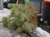 Technické služby dnes zahájily svoz vánočních stromků. Budou zkompostovány