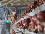 Do České republiky se vrátila ptačí chřipka, ve středních Čechách se zatím nevyskytuje