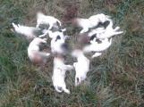 Narozená štěňata zabil a hodil do křoví! Z deseti přežilo jediné