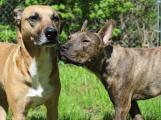 I pejsci mohou darovat krev a zachránit tak několik psích kamarádů