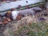 Další případ otráveného zvířete na Příbramsku. V Hříměždicích nalezli uhynulé vydří mládě