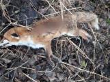 V Tochovicích kdosi zastřelil tři lišky a pohodil je na kraj remízku