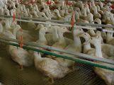 V Blatné dnes kvůli ptačí chřipce utratí 17 tisíc kusů drůbeže