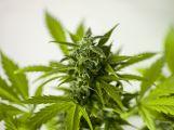 Prodával po Příbrami marihuanu
